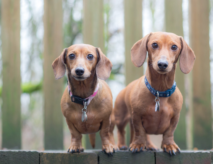 Ruby & Finnegan [Dachshund Photographer]